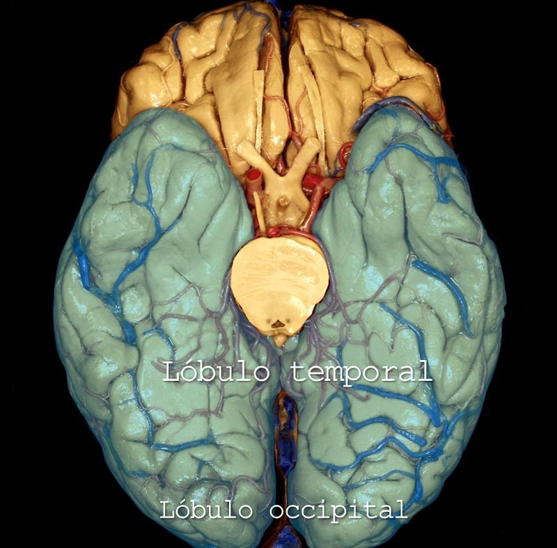lobulo temporal, lobulo frontal