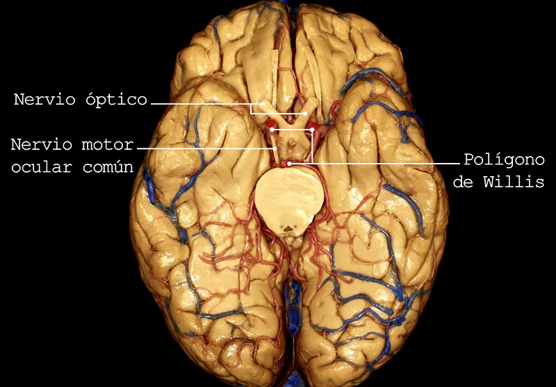 nervio optico, nervio motor ocular comun, poligono de williw