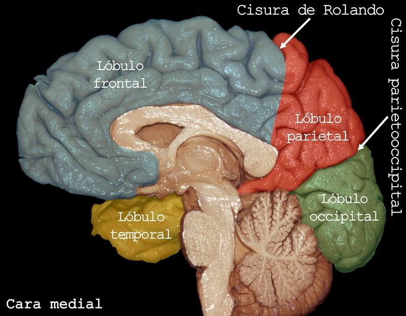 Lobulos cerebrales, lobulo frontal, lobulo temporal, lobulo parietal, lobulo occipital. Imagen: Dr. Marcos Chiarullo, Hospital El Cruce.
