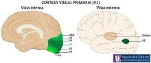 corteza visual primaria