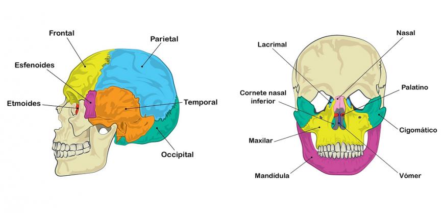 Ilustración Neurociencias Cráneo Asociación Educar Para El Desarrollo Humano