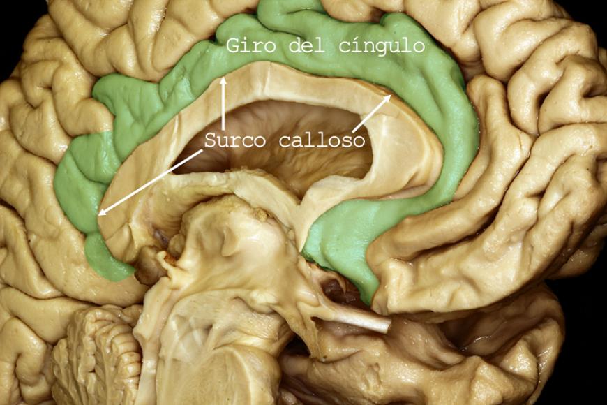 Superficie Cerebral Medial Surco Calloso Giro Del Cíngulo