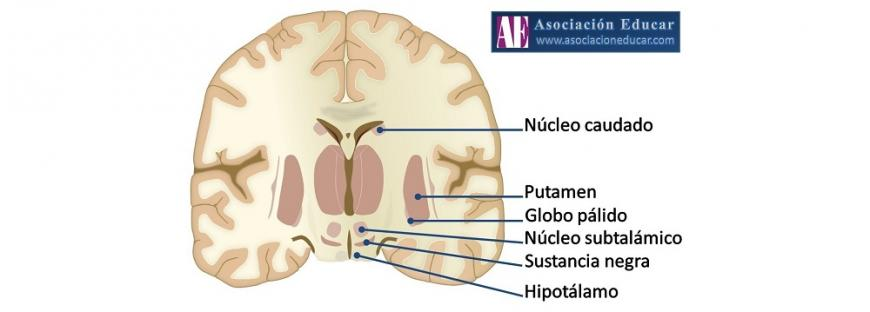 Neurofisiología de los Ganglios Basales   Asociación Educar para el ...